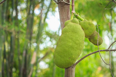 Jackfruit on the tree in the garden Royalty Free Stock Photos