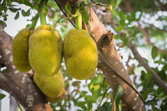 Jackfruit on the tree in the garden Royalty Free Stock Photography