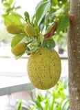 Jackfruit on tree in garden, thailand. Jackfruit on tree in garden near the park thailand stock photo