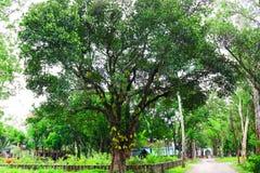 jackfruit tree gowing在树的巨大的起重器果子 波罗蜜结果实新鲜的树有机特写镜头美丽的庭院绿色叶子 非常大 库存照片