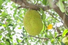 Jackfruit on the tree Royalty Free Stock Photo