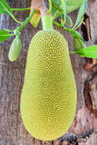 Jackfruit on tree Royalty Free Stock Image