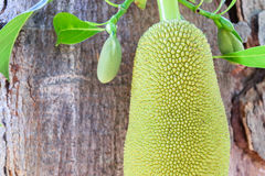 Jackfruit on tree Royalty Free Stock Photo