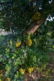 Jackfruit tree Stock Photography