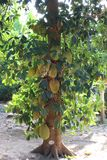 Jackfruit tree that has many fruits royalty free stock photo