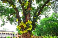 Jackfruit on tree. Huge jack fruit gowing in tree.jackfruit fruits fresh tree organic closeup beautiful garden green leaf.Very big stock images