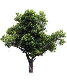 Jackfruit tree Royalty Free Stock Photos