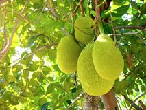 Jackfruit on the tree Royalty Free Stock Image