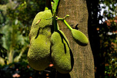 Jackfruit tree Royalty Free Stock Image