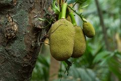 Jackfruit on the tree. Royalty Free Stock Images