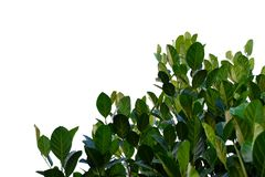 Jackfruit tree leaves with branches on white isolated background for green foliage backdrop stock photography