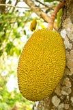 Jackfruit on tree Royalty Free Stock Photos