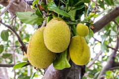 Jackfruit on tree Royalty Free Stock Photography