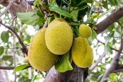 Jackfruit on tree Royalty Free Stock Photography