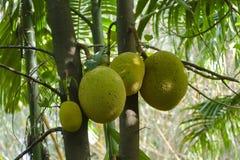 Jackfruit tree in Minneriya, Sri Lanka Stock Image