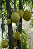 Jackfruit tree in Minneriya, Sri Lanka Stock Photo