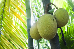 Jackfruit tree in Minneriya, Sri Lanka Stock Images
