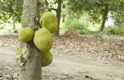 Jackfruit on Tree Royalty Free Stock Image