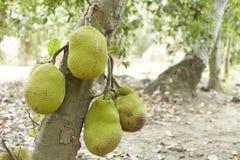 Jackfruit on Tree Stock Image