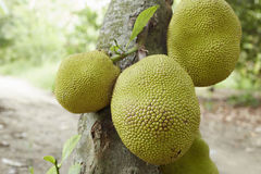 Jackfruit on Tree Royalty Free Stock Images