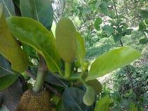 Jackfruit. Tree natural green lev Stock Photo