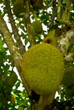 Jackfruit on the tree Royalty Free Stock Image