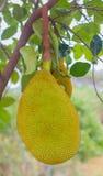 jackfruit at tree Royalty Free Stock Photos