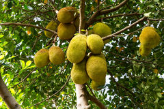 Jackfruit tree. Stock Images