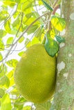 Jackfruit on the tree. Stock Photos