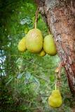Jackfruit tree with plants fenne Artocarpus heterophyllus growing in a tropical garden in Sri Lanka stock photography