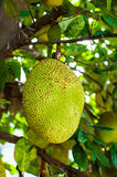Jackfruit. Tree, poppular Thai fruit Stock Image