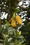 Jackfruit tree with ripe fruit ready to be picked Royalty Free Stock Images