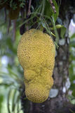 Jackfruit tree with ripe fruit ready to be picked Stock Photo