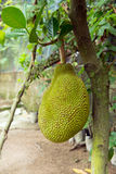 Jackfruit on tree Stock Photography