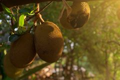 Jackfruit tree with ripe jackfruit fruits grooving in the branch. Cambodia, Banlung province Stock Images