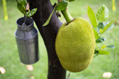 Jackfruit on the tree Stock Photo