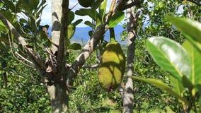 Jackfruit on a tree stock video footage