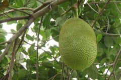 Jackfruit. Tree taken from Thailand Royalty Free Stock Images