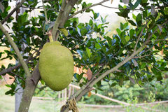 A Jackfruit. On tree in thailand Stock Photos