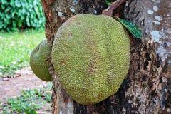 Jackfruit on the tree Stock Images