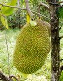 Jackfruit on the tree Stock Photos