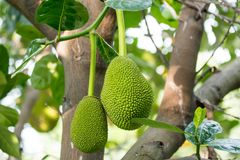 Jackfruit on the tree Stock Photos
