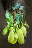 Jackfruit tree Royalty Free Stock Photography