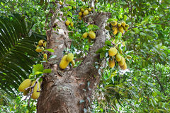 Jackfruit tree Royalty Free Stock Images