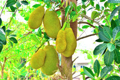 Jackfruit Tree. Royalty Free Stock Photos