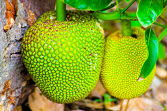 Jackfruit Tree and young Jackfruits Stock Photography