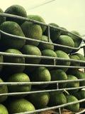 Jackfruit truck for transportation