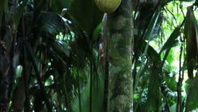 Jackfruit in Vallee de Mai Nature Reserve. In Praslin. Seychelles stock video footage