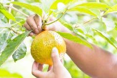 Jackfruit verde do bebê nas mãos dos jardineiro no fundo da natureza Imagem de Stock Royalty Free