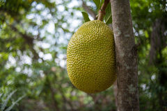 Jackfruit in Viet nam Royalty Free Stock Photography